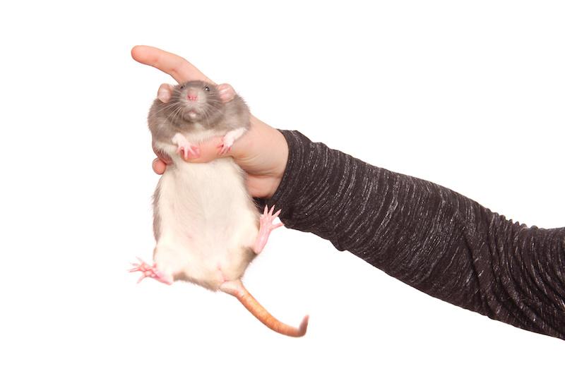 ネズミ 駆除 ネズミ