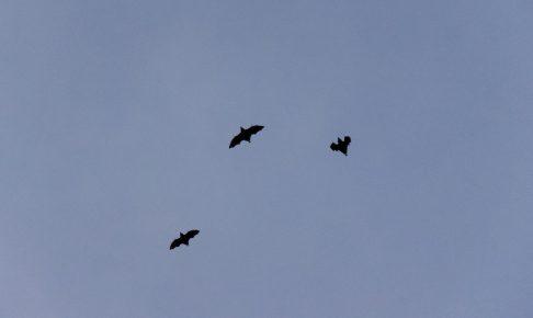 飛ぶコウモリ