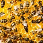 ミツバチの女王蜂