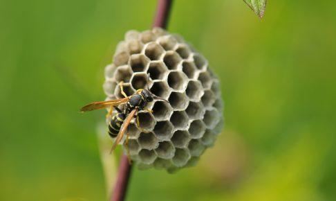 アシナガバチとその巣