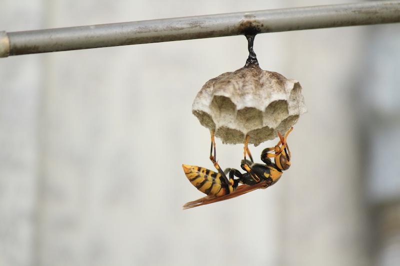 巣を作るアシナガバチの女王蜂