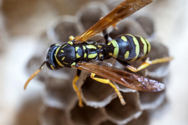 巣作りをするアシナガバチの女王蜂