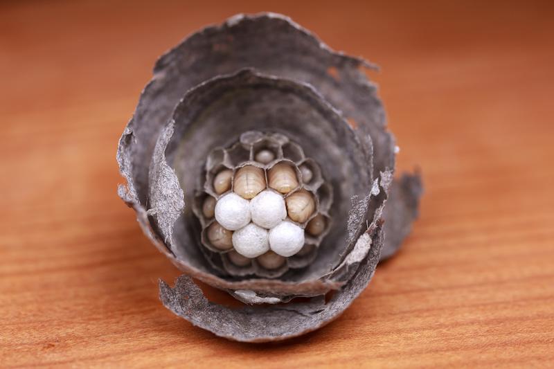 スズメバチの初期の巣と幼虫