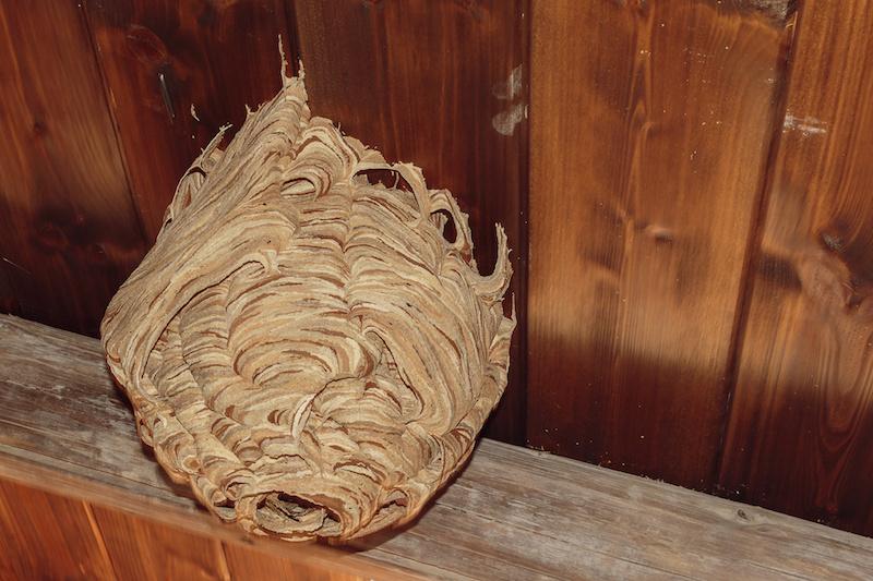 完成形のスズメバチの巣