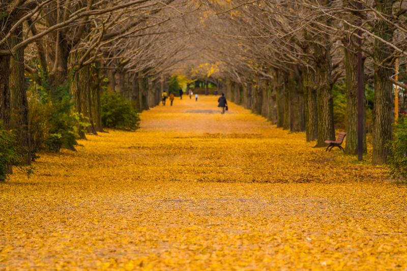 晩秋のイチョウ並木