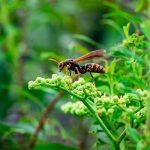 紫陽花の蕾に止まるアシナガバチ