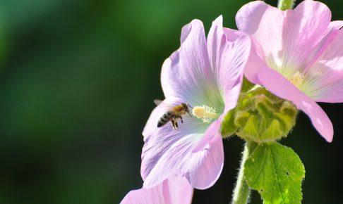花を訪れるミツバチ