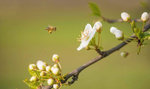桜の花と蜜蜂