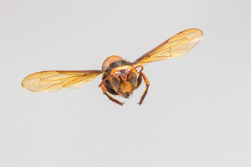 飛んでくる蜂