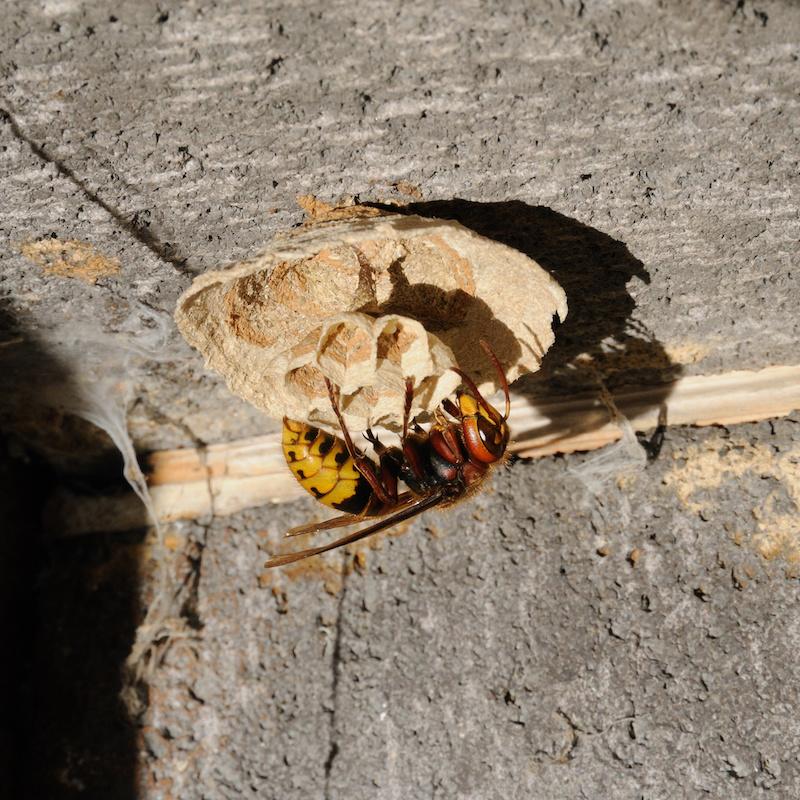 スズメバチの女王蜂と作り始めの巣