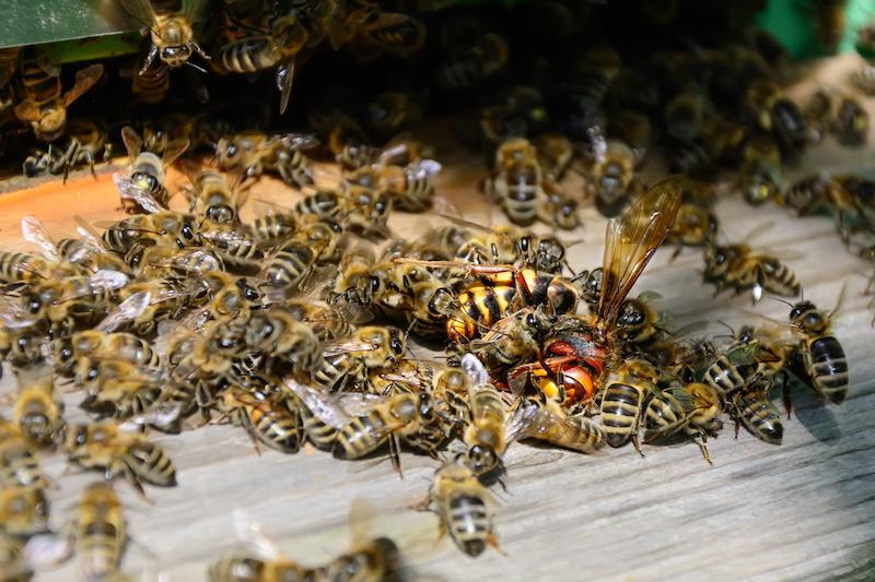 スズメバチに対抗するミツバチ