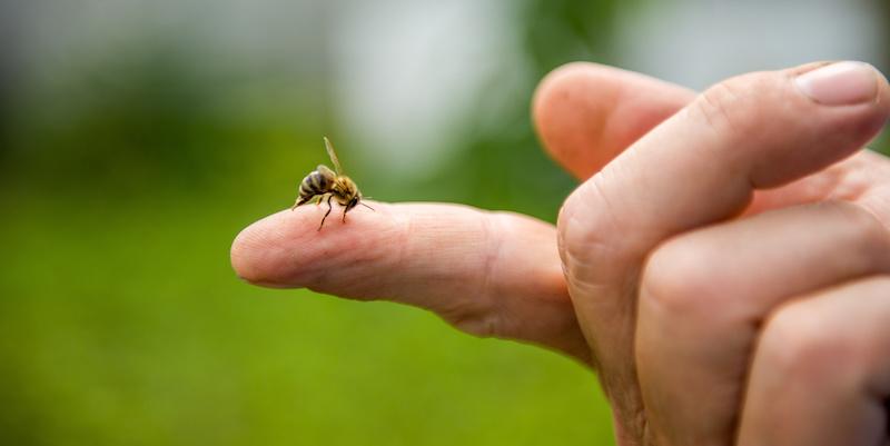 指先を刺すミツバチ