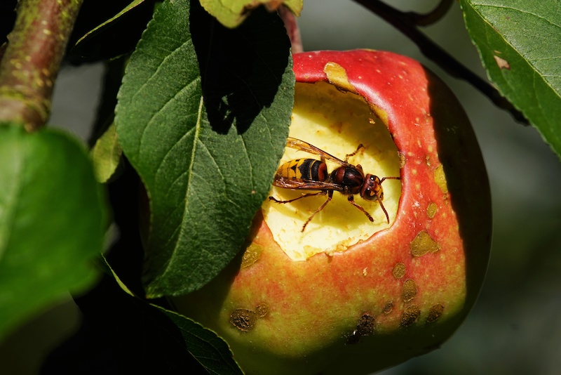 林檎を食べるスズメバチ