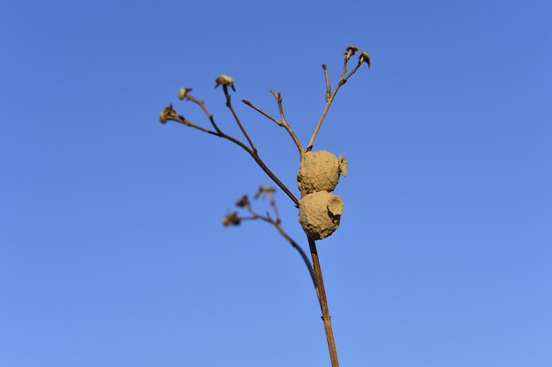 木の枝に作られたトックリバチの巣