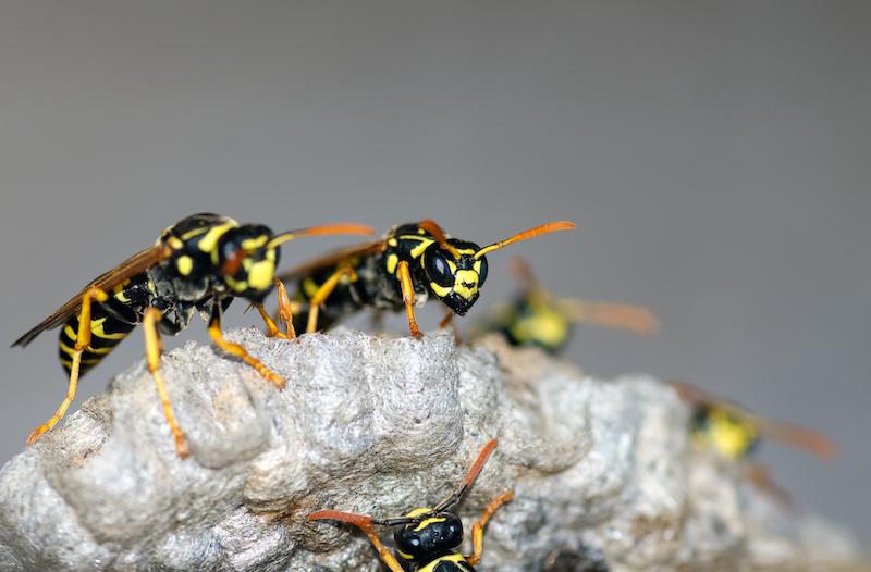 巣にいるアシナガバチ