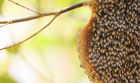 木の枝にできたミツバチの巣