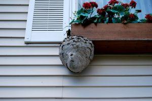 窓手摺の下に作られたスズメバチの巣
