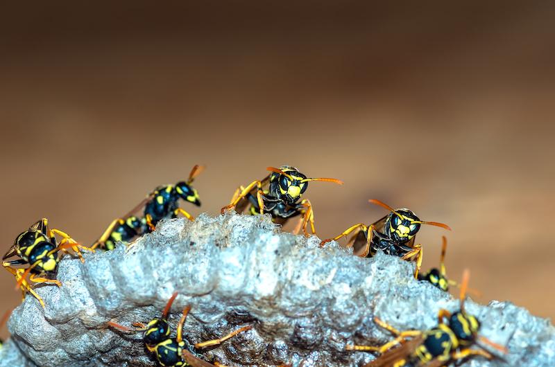 巣に止まっているアシナガバチの群