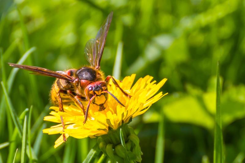 蒲公英に止まるスズメバチ
