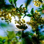スズメバチとメギの花