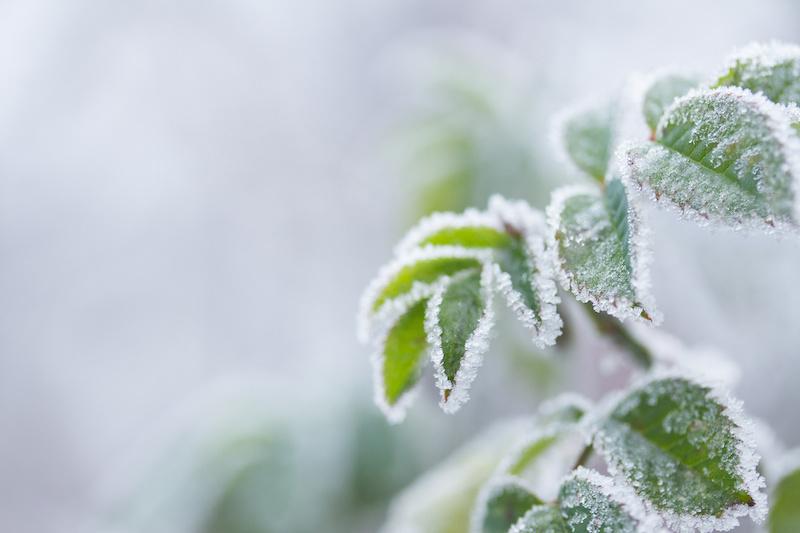 霜が降りた植物
