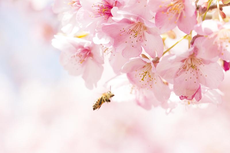 桜と日本蜜蜂