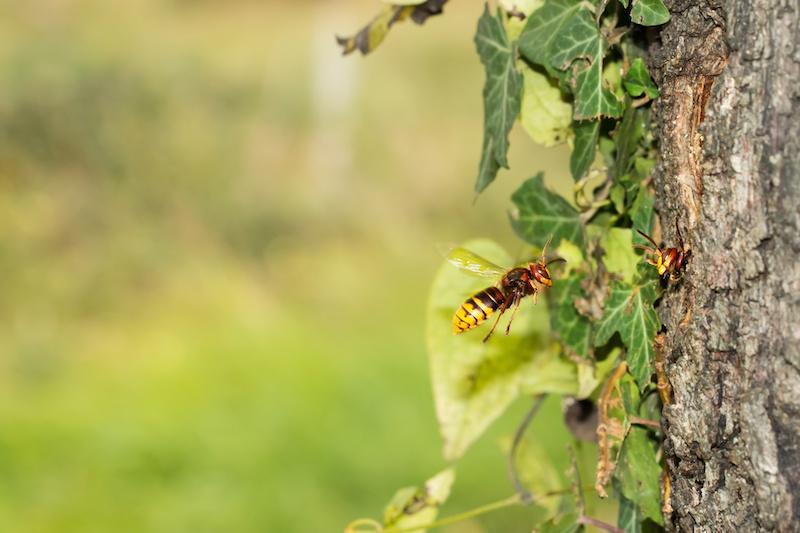 飛んで木に近づくスズメバチ