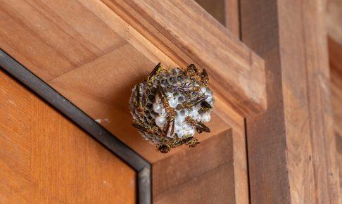 家屋に作られたアシナガバチの巣
