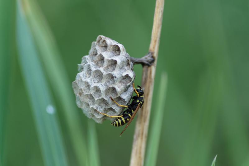 植物に作られたアシナガバチの巣
