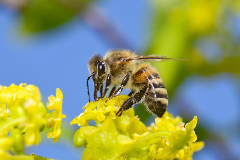 花の蜜を吸うセイヨウミツバチ