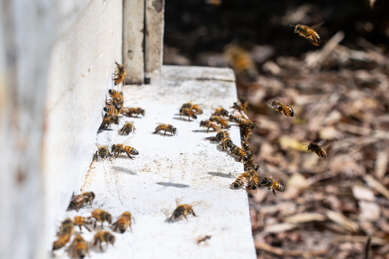 巣箱に出入りするミツバチ
