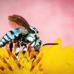 花に止まる青蜂