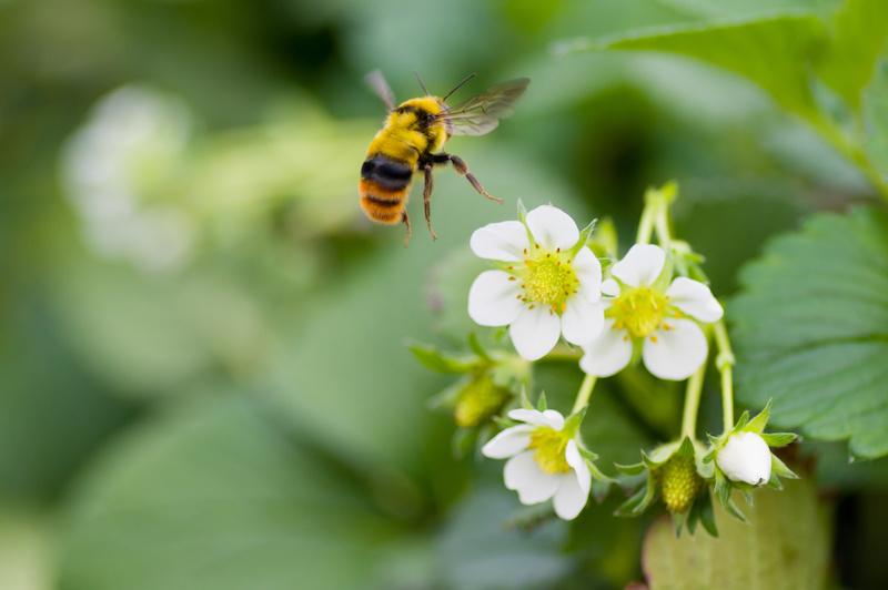 クロマルハナバチと苺の花