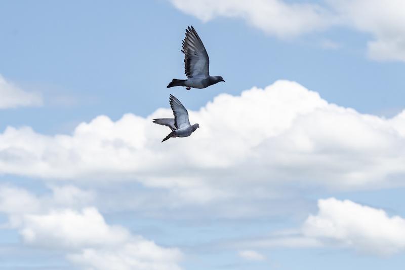空へ羽ばたく鳩