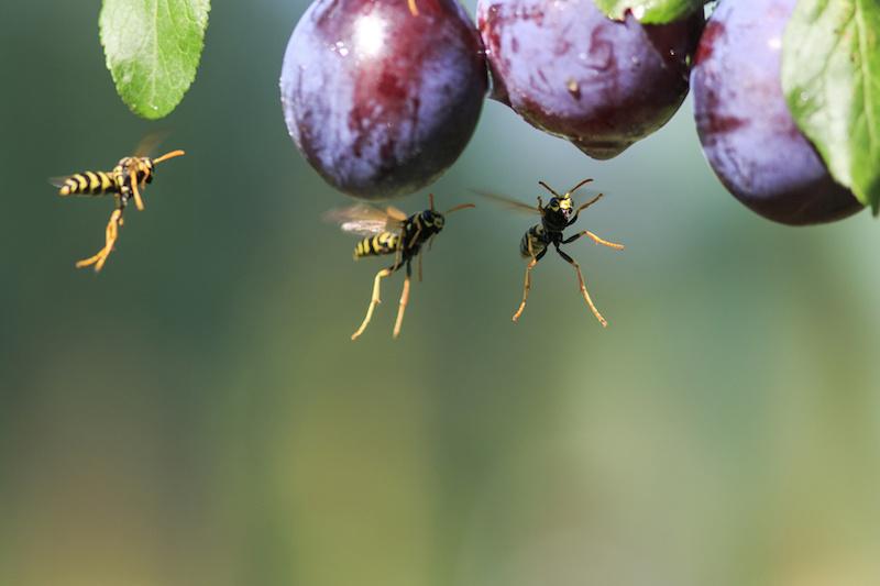葡萄の周りを飛ぶアシナガバチ
