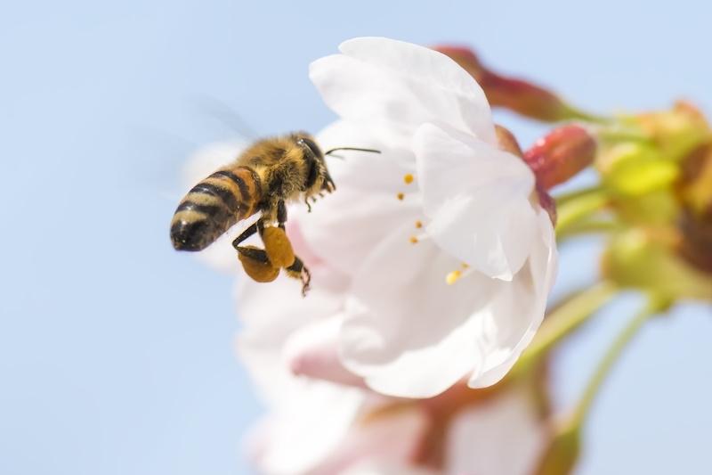 桜の花を訪れるミツバチ