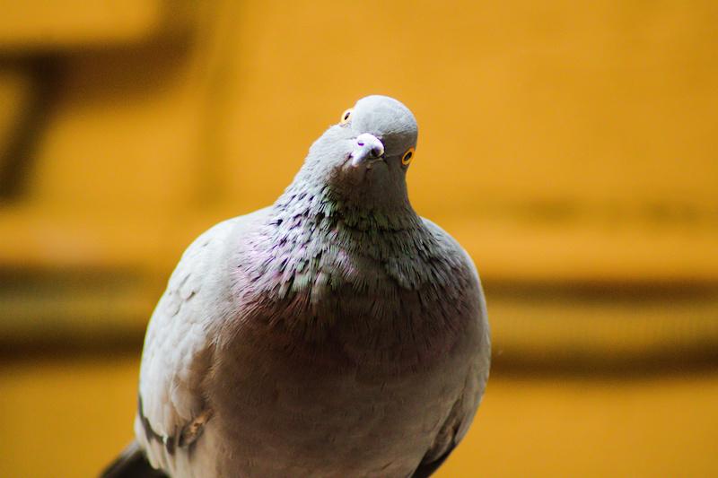 首をかしげる鳩