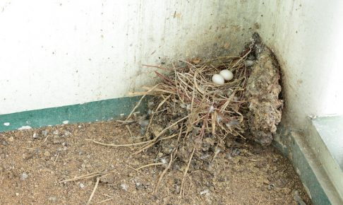 ベランダに作られた鳩の巣と鳩の卵