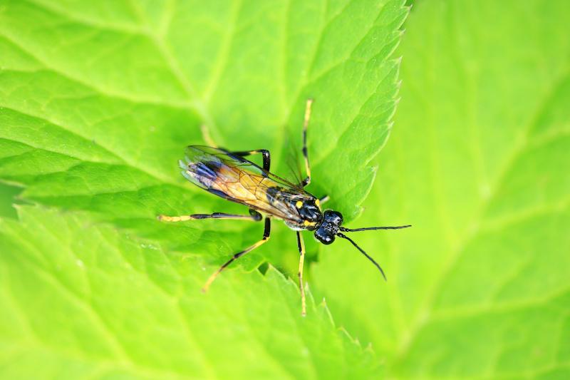 ハバチ亜目の蜂