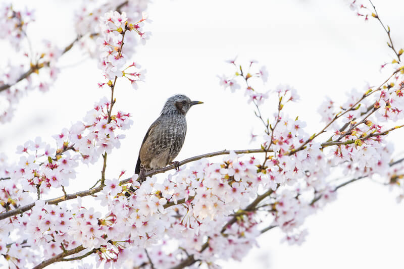 桜の木に止まるヒヨドリ