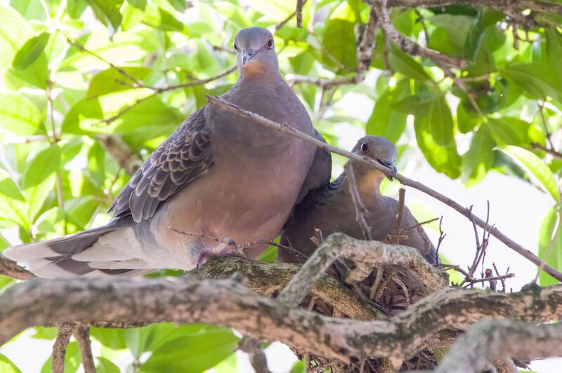 巣作りするキジバトの夫婦