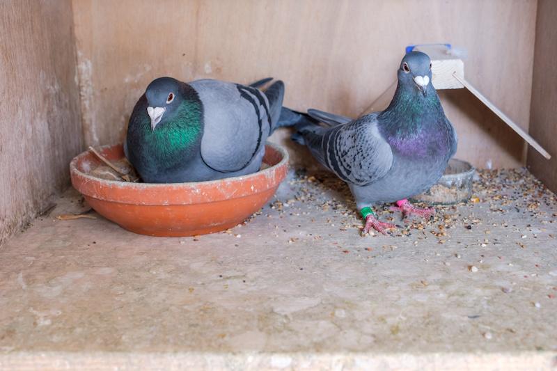 巣で卵を温める鳩の夫婦