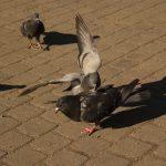 他の鳥を攻撃する鳩