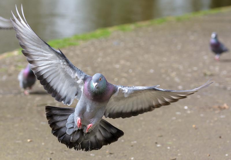 羽ばたく鳩