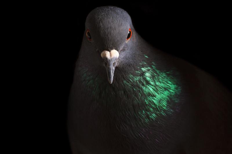 暗闇の中の鳩