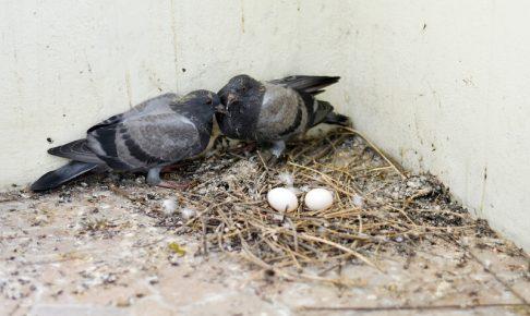 ドバトの巣と親鳥と卵