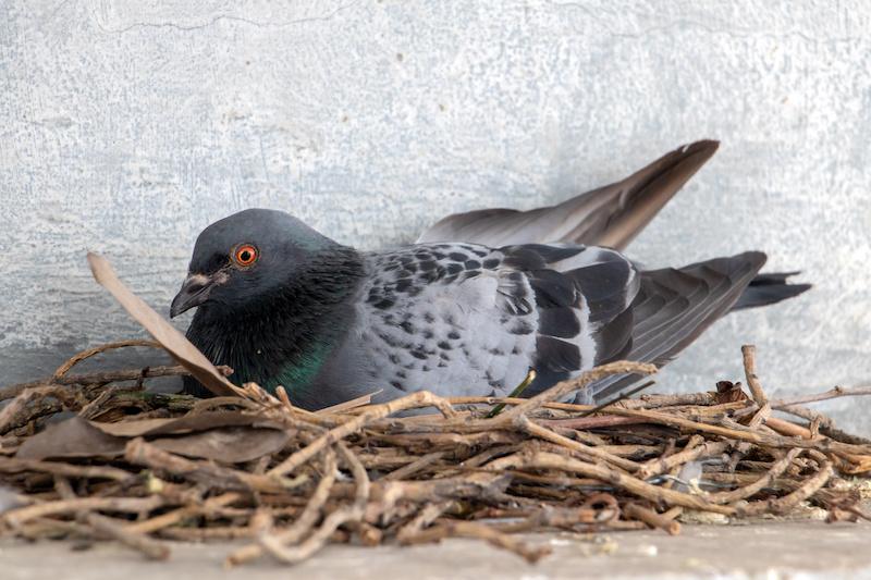 巣で卵を温める鳩