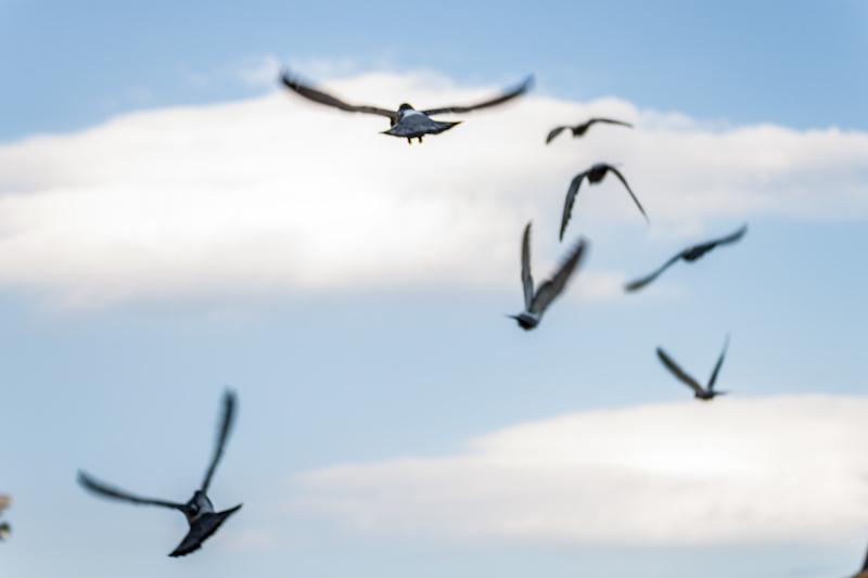 飛び去る鳩
