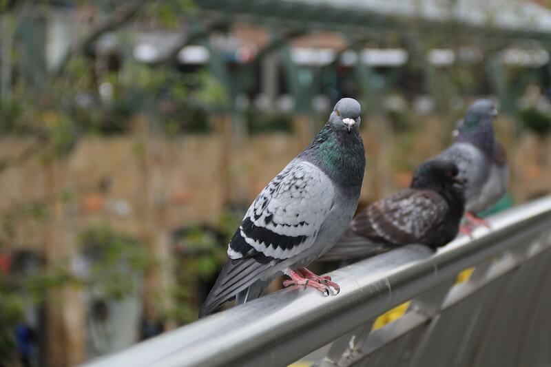 手すりの上に留まる鳩