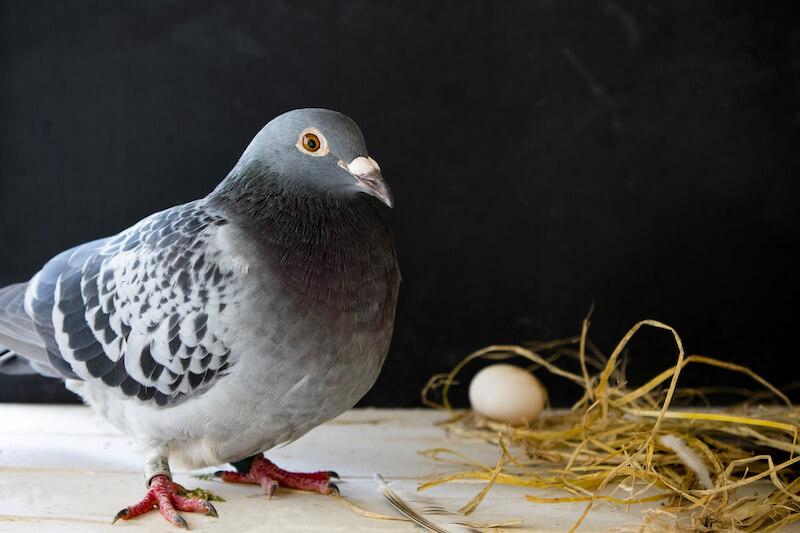 ドバトと巣と卵